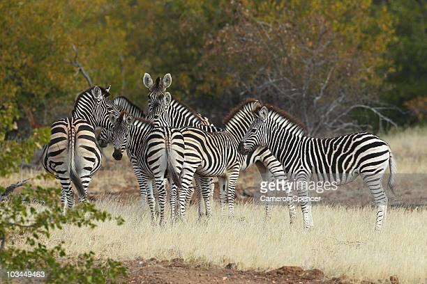 Zeal of zebras at the Mashatu game reserve on July 26, 2010 in Mapungubwe, Botswana. Mashatu is a 46,000 hectare reserve located in Eastern Botswana...
