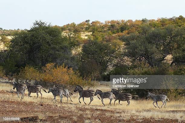 Zeal of zebras run at the Mashatu game reserve on July 26, 2010 in Mapungubwe, Botswana. Mashatu is a 46,000 hectare reserve located in Eastern...
