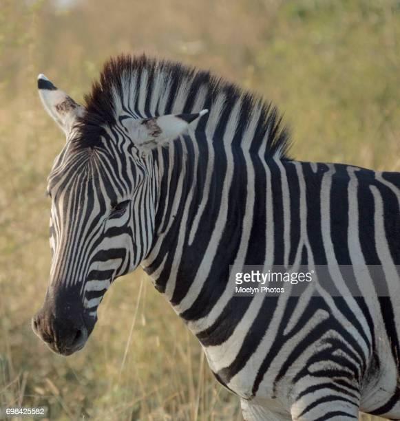 Zebra 0012