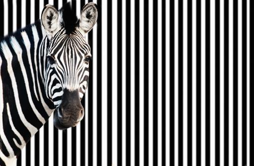 Zebra against background of black and white stripes 460456243