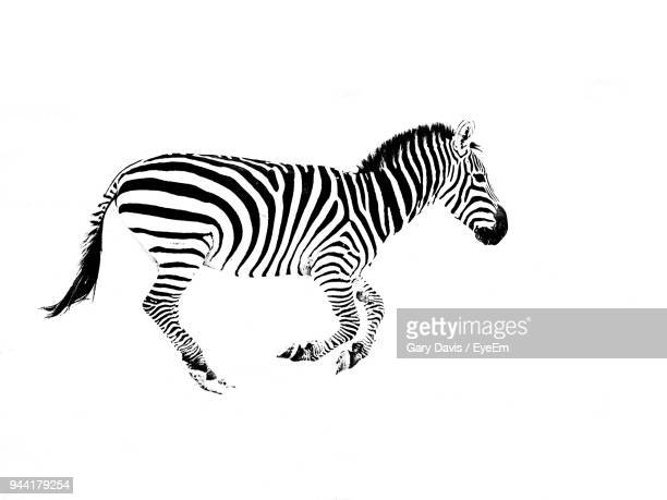 zebra against white background - zebra stock pictures, royalty-free photos & images