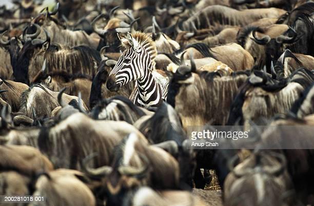 Zebra (Equus burchelli)  amongst herd of wildebeest