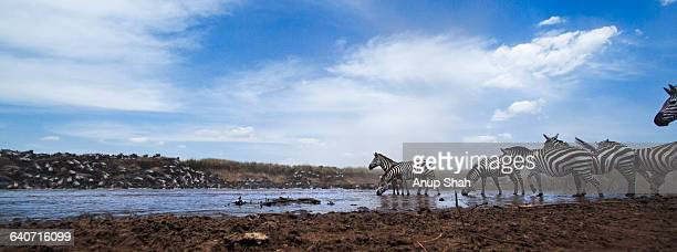 Zebra and Wildebeest crossing the Mara River