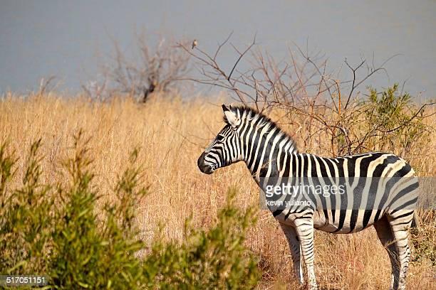 Zebra at Pilanesberg Game Reserve