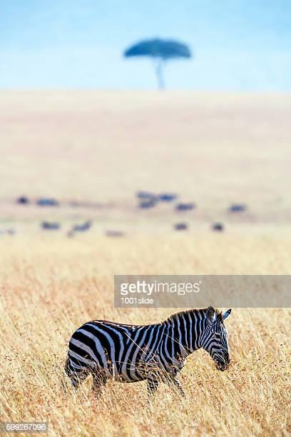 Zebra at Savannah with Acacia