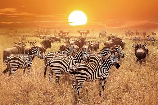 Zebra at sunset in the Serengeti National Park. Africa. Tanzania. 663981890