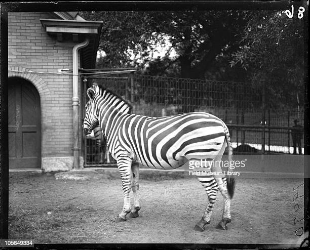 Zebra Brick building behind with an arched doorway Lincoln Park Zoo Chicago Illinois 1900