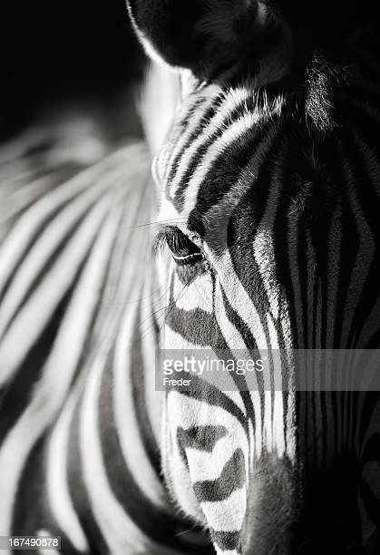 zebra close-up - zebra stock pictures, royalty-free photos & images