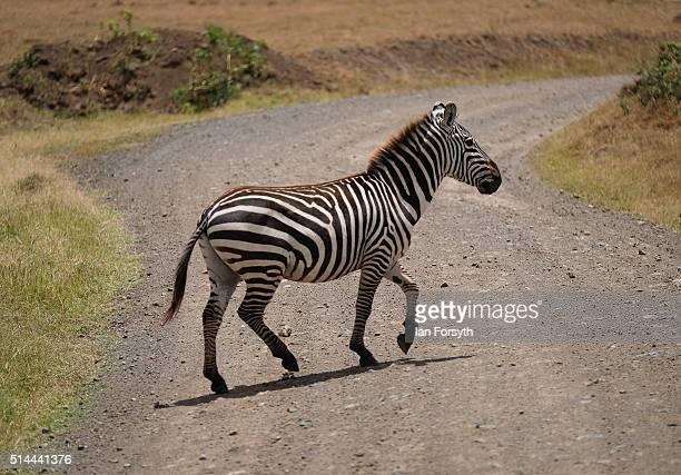 A zebra crosses over a track inside the Lake Nakuru National Park on February 27 2016 in Nakuru Kenya The east African country covers around 580000...