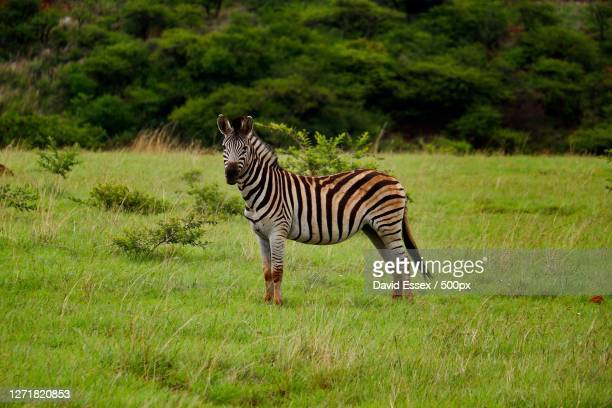 a zebra crossing in south africa, nkandla, south africa - zebra crossing stock pictures, royalty-free photos & images