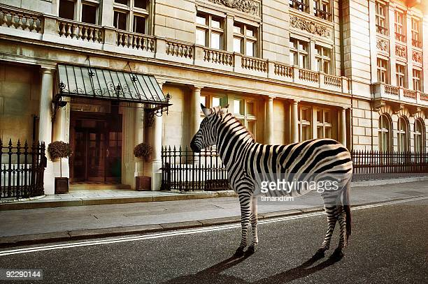 zebra crossing on the road - zebra stock pictures, royalty-free photos & images