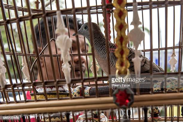 A zebra dove owner looks at one of his pets in a farm Raising zebra doves for cooing competitions is a very popular and lucrative activity in...