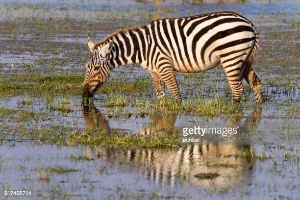 Zebra drinking water in Africa