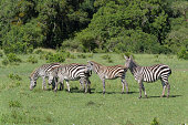 zebra equus quagga group animals masai