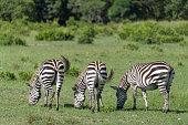 zebra equus quagga masai mara national