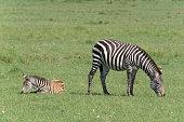 zebra equus quagga mother with young