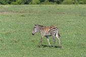 zebra equus quagga young masai mara