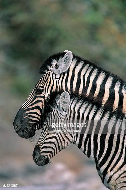 Zebra (Equus burchelli), Etosha National Park, Namibia, Africa