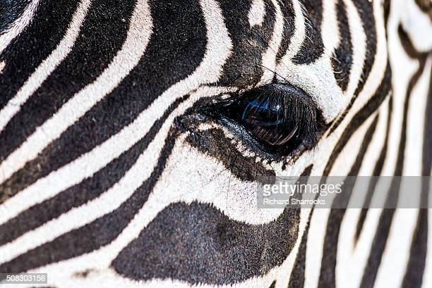 Zebra eye close up