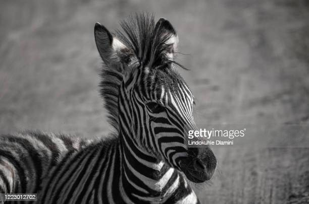 zebra face shot, portrait at tala private game reserve, south africa - pietermaritzburg stock pictures, royalty-free photos & images