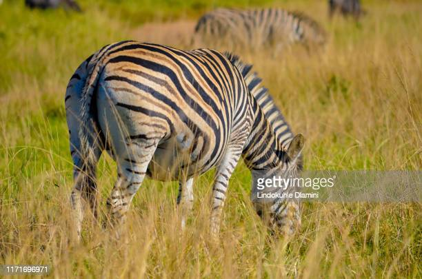 zebra feeding at tala private game reserve, south africa - pietermaritzburg stock pictures, royalty-free photos & images
