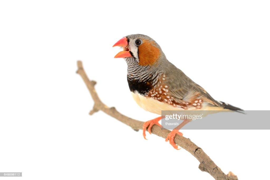 Zebra Finch bird : Stock Photo