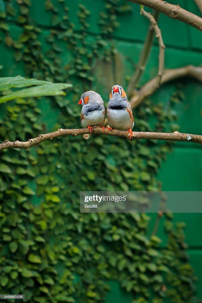 Zebra finch couple (Taeniopygia guttata) sitting on a branch : Stock Photo
