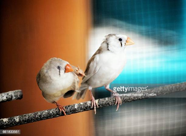 Zebra Finches Perching On Metal In Birdcage