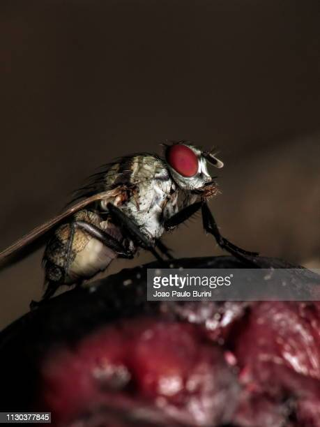 zebra fly on a fruit macro - sorocaba stock pictures, royalty-free photos & images