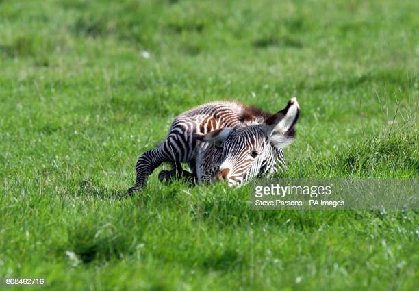 A zebra foal born on Friday October 8th at Whipsnade Zoo Dunstable