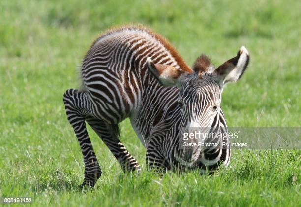 A zebra foal born on Friday October 8th relaxes at Whipsnade Zoo Dunstable