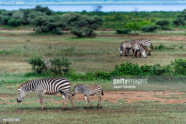 A Zebra foal follows its mother over a flat plain next to a soda lake.