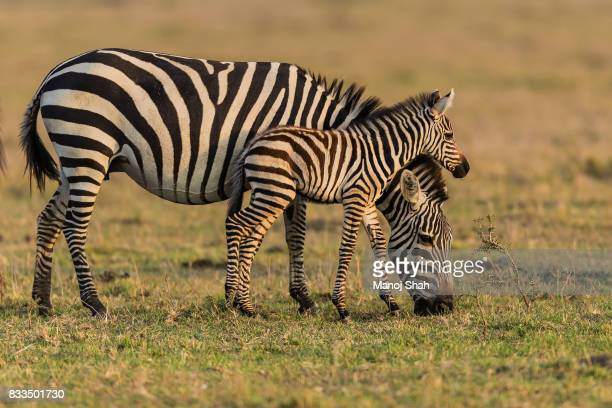 Zebra foal with mother.
