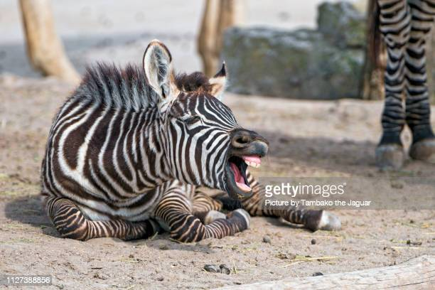 zebra foal with open mouth - young animal stock pictures, royalty-free photos & images