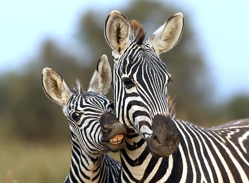 Zebra foul and female zebra 1007675770