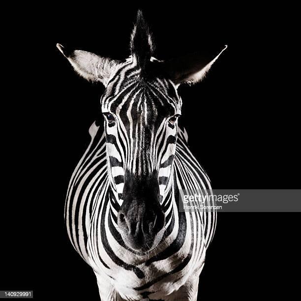 Zebra front view