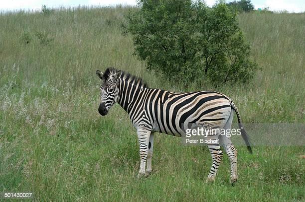 Zebra Glen Afric Country Lodge Hartbeespoort bei Pretoria Südafrika Afrika Tier Reise BB DIG PNr 240/2006