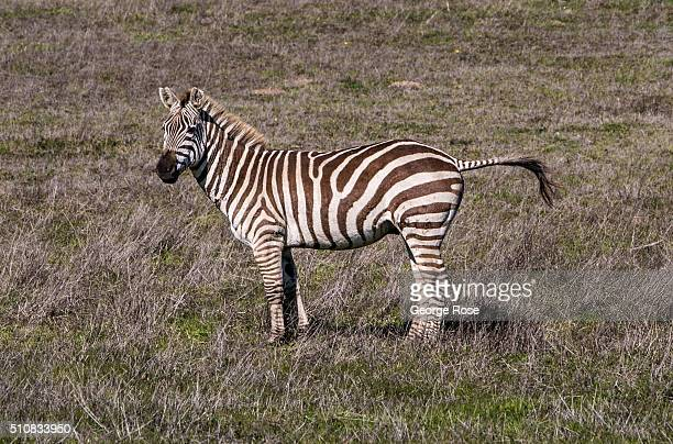 A zebra grazes in a Hearst Ranch pasture on February 4 near San Simeon California Because of its close proximity to Southern California and Los...