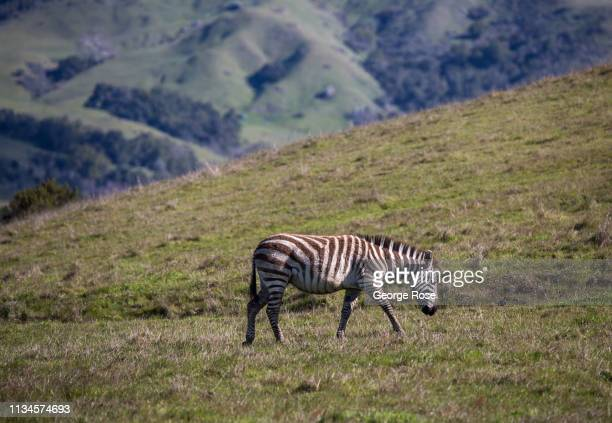A zebra grazes in a pasture at Hearst Ranch on February 21 near San Simeon California Because of its close proximity to Southern California and Los...