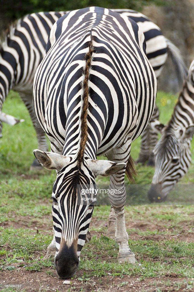 Zebra Pastar : Foto de stock