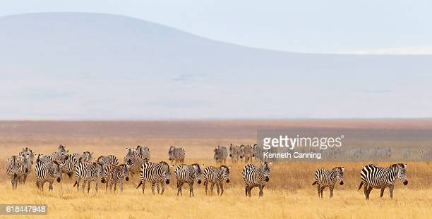 Zebra Herd and Golden Grasslands of the African Savanna