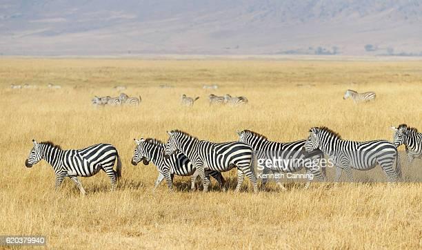 Zebra Herd and Golden Grasslands of the African Savanna