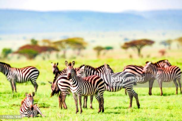 zebra herd at wild - resting and watching - hairy bush stock pictures, royalty-free photos & images