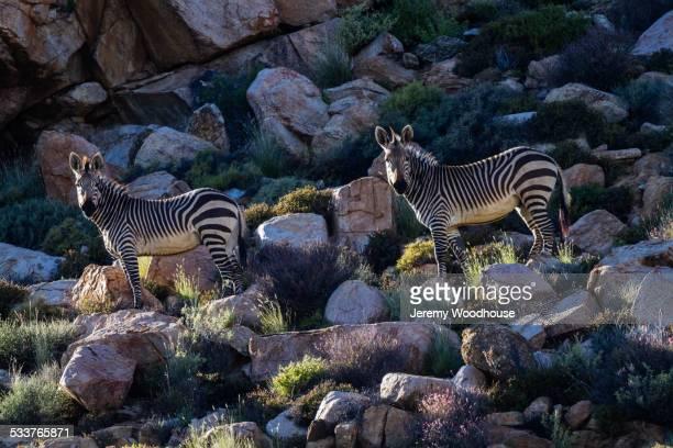 zebra herd grazing on grassy rocky hillside - ナマクワランド ストックフォトと画像