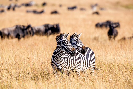 Zebra herd nad Wildebeests Grazing at Savannah 599259458