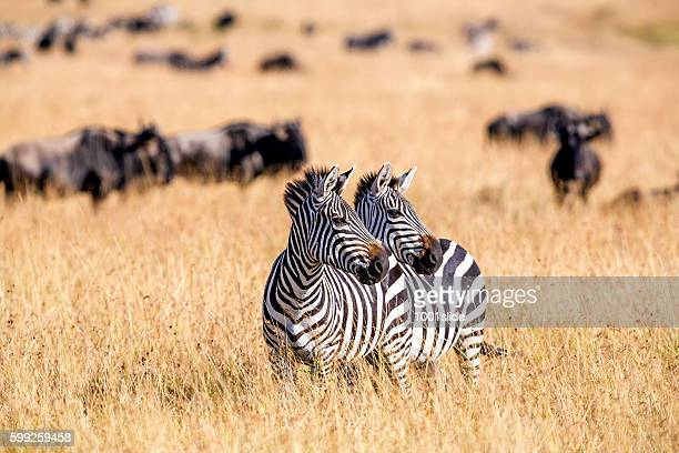Zebra herd nad Wildebeests Grazing at Savannah