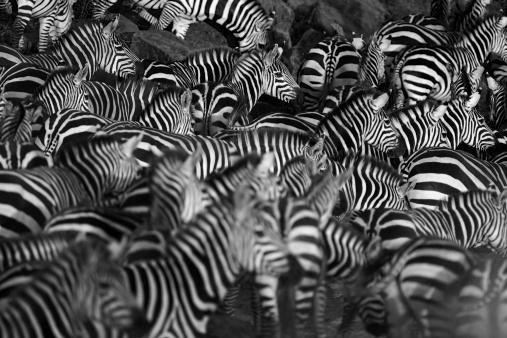 Zebra herd 171579105