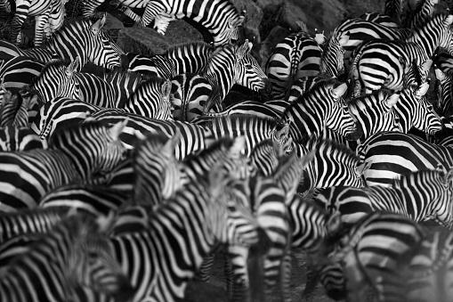 Zebra herd 545671718