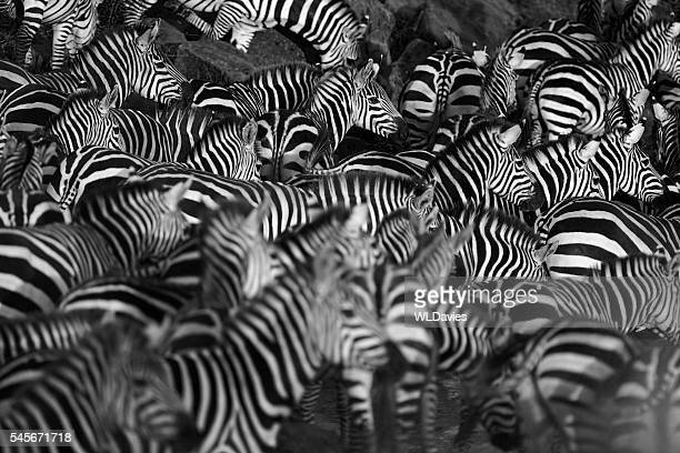 zebra herd - formation stockfoto's en -beelden