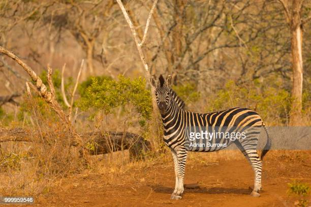 Zebra in Bushveld